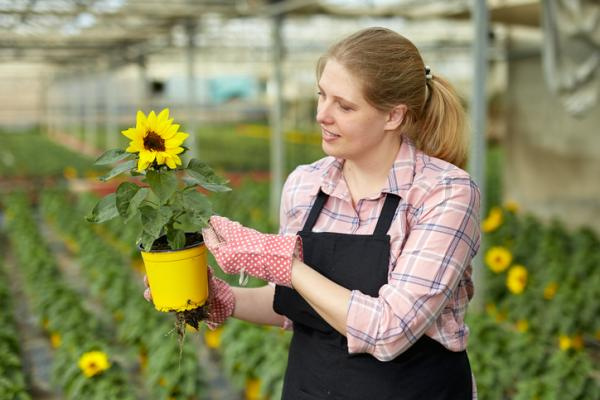 How to care for sunflowers - Soil for sunflowers