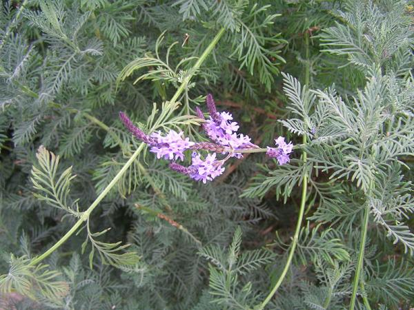 12 types of lavender - Lavandula canariensis