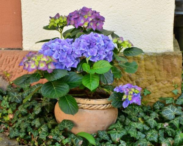 How To Care For Potted Hydrangeas - Characteristics Of Hydrangeas