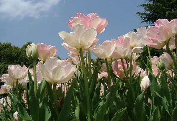 Types of tulips - Tulipán Angelica