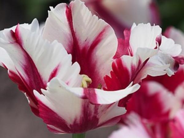 Types of tulips - Tulip Estella Rijnveld