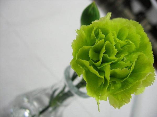 15 green flowers - Dianthus caryophyllus or carnation