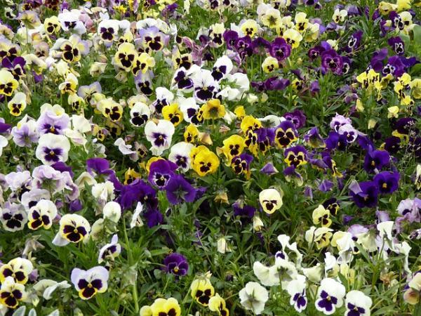 Outdoor flowering winter plants - Pansies or violas