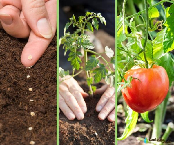 When to Plant Tomatoes - When to Plant Tomatoes - Northern Hemisphere