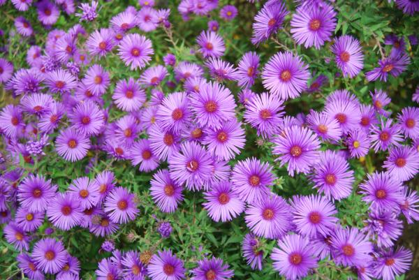 Outdoor Potted Plants - The Aster