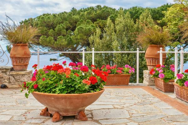 Outdoor potted plants - Geranium