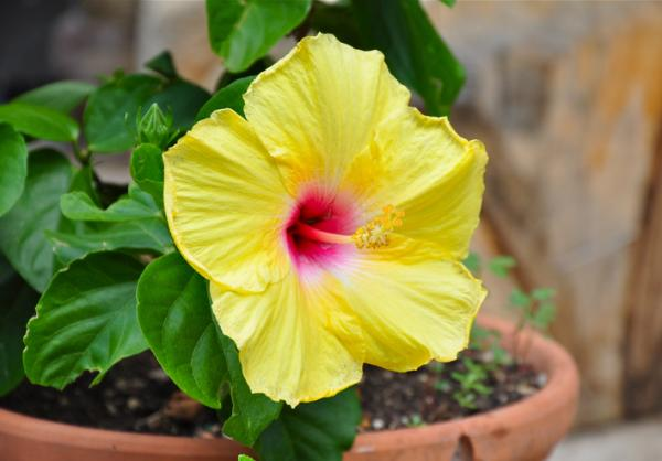 Outdoor Potted Plants - Hibiscus