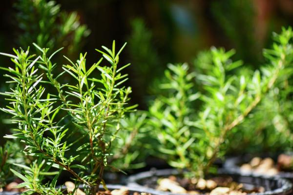 Outdoor potted plants - Rosemary