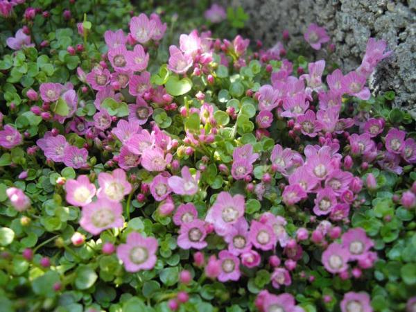 Wild flowers: names and photos - Anagallis or anagalis