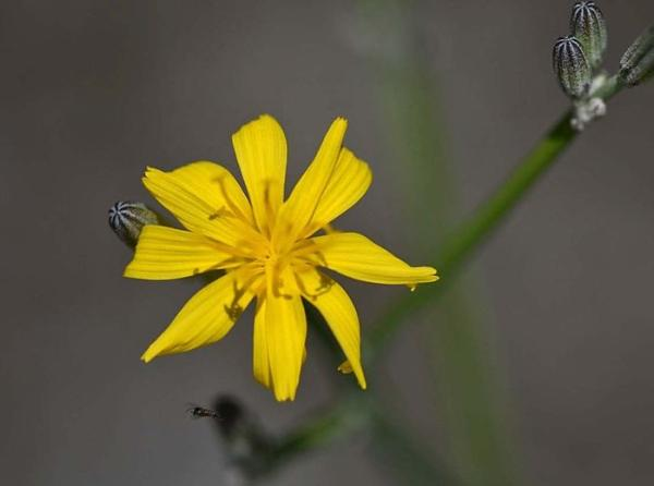 Wildflowers: names and photos - Chondrilla juncea or sweet chicory