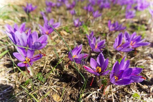 Wildflowers: names and photos - Crocus sativus or saffron