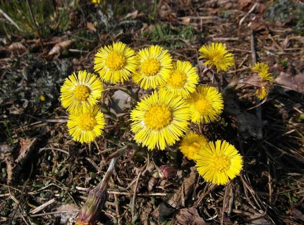 Wild flowers: names and photos - Tussilago farfara or horse's foot