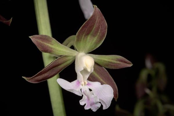 12 types of orchids - Calanthe Orchid