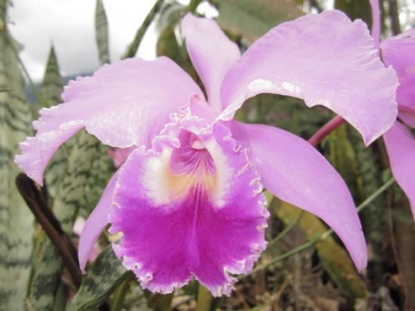 12 types of orchids - Cattleya Orchid