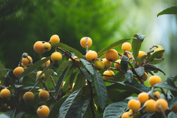 Medlar tree: care - Characteristics of the medlar tree