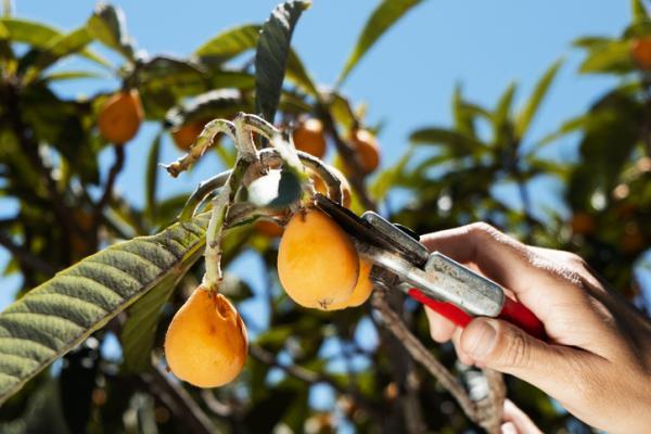 Medlar tree: care - Pruning the medlar tree