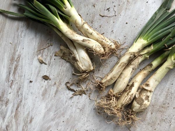 Types of onion - Calçot