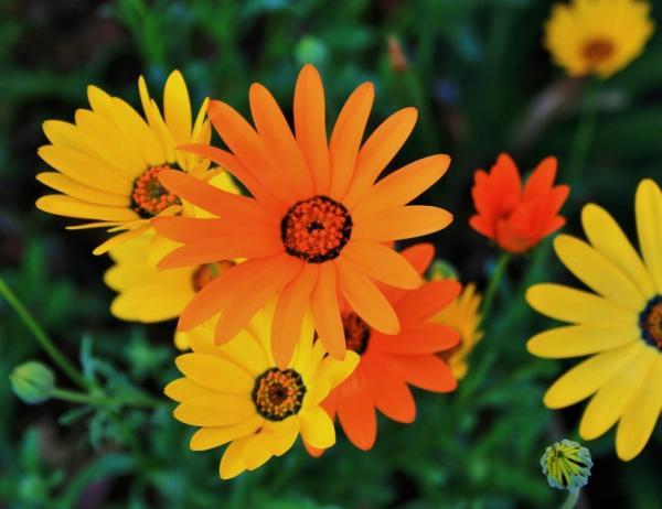 Types of daisies - Dimorfoteca (Dimorphotheca sinuata)