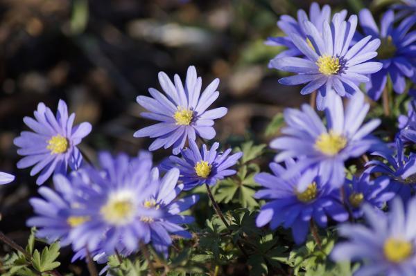 Types of Daisies - Blue Daisy (Anemone blanda)