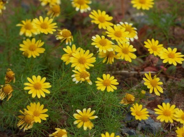 Types of Daisies - Dahlberg Daisy (Thymophylla tenuiloba)