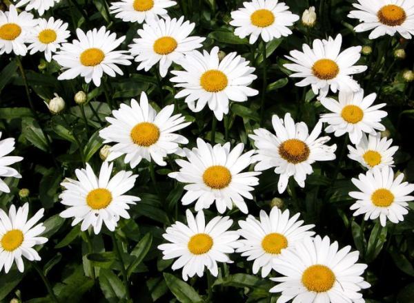 Types of Daisies - Shasta Daisy (Leucanthemum Superbum)