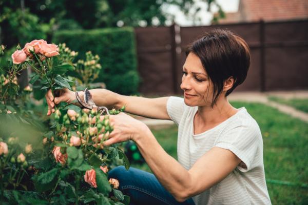 How to graft a rose bush - When to graft a rose bush