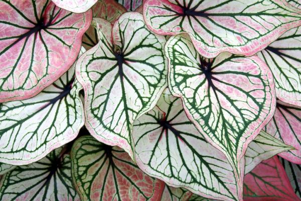 Plants with colored leaves - Caladium or angel wing