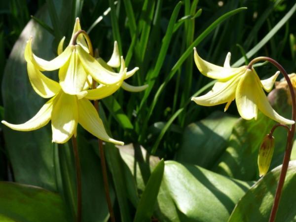 15 Bulb Plants - Dog's Tooth