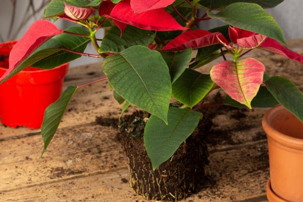 How to transplant the poinsettia - How to transplant the poinsettia step by step