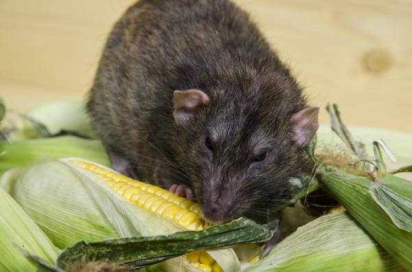 Corn pests and diseases and their control - Mice and rats