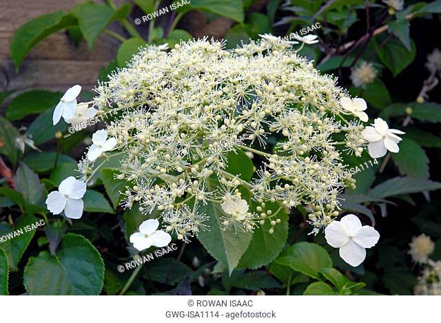 Flowers Of Climbing Hydrangea Stock Photos And Images Agefotostock
