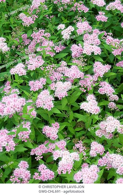 Spiraea Japonica Stock Photos And Images Agefotostock