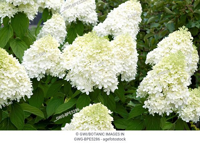 Hydrangea Paniculata V Stock Photos And Images Agefotostock