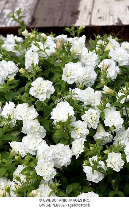 Petunia Multiflora Flower Stock Photos And Images Agefotostock