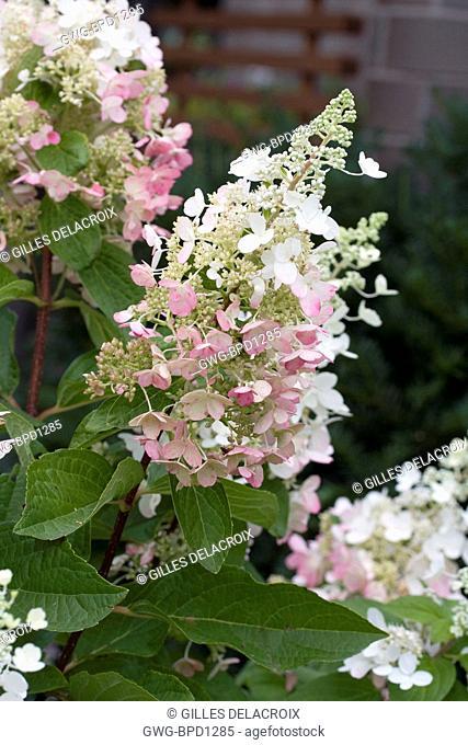 Hydrangea Paniculata Stock Photos And Images Agefotostock