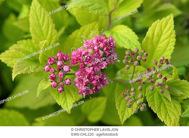 Spiraea Japonica Stock Photos And Images Agefotostock