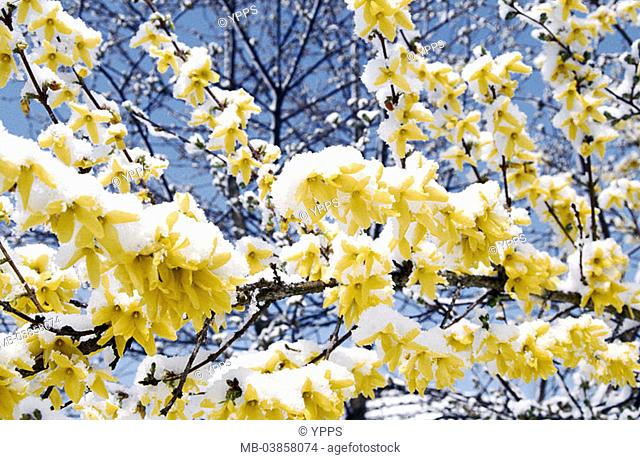 Forsythia Stock Photos And Images Agefotostock