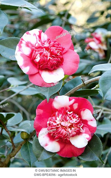 Camellia Bloom Flower Stock Photos And Images Agefotostock