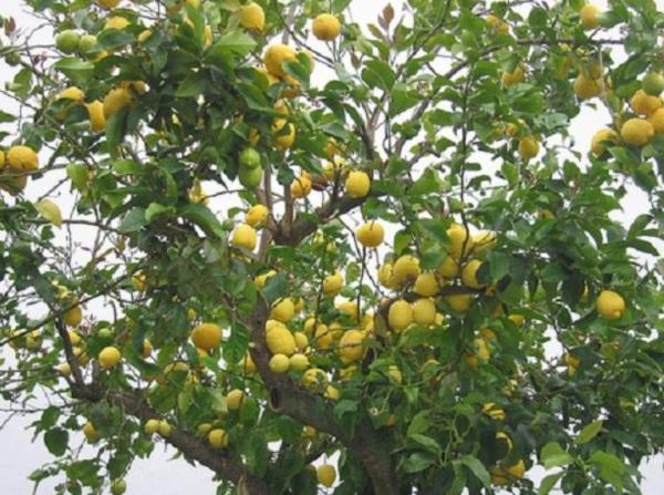 Lemon tree care - Characteristics of the lemon tree