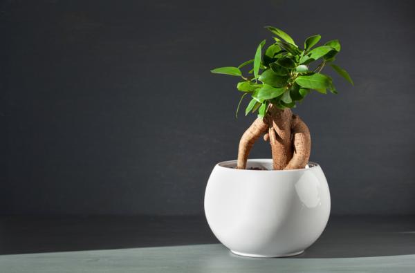 +35 types of ficus - Ficus retusa or ginseng