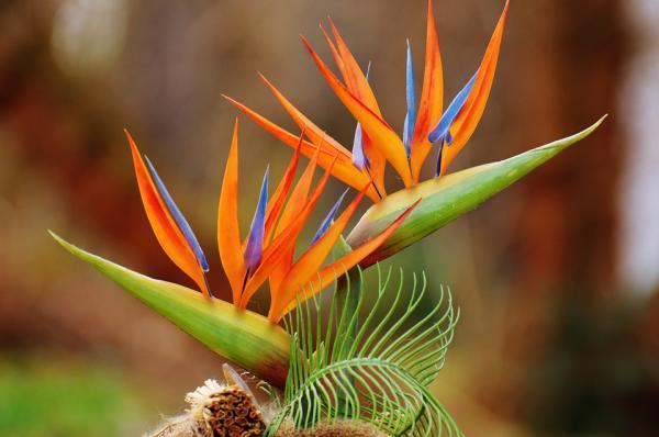 Bird of paradise plant: care, transplantation and reproduction - Reproduction of the bird of paradise plant