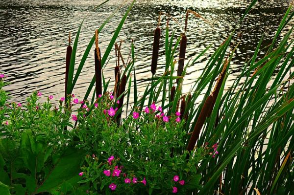 +50 aquatic plants: names and characteristics - with pictures - What is a marsh plant for ponds