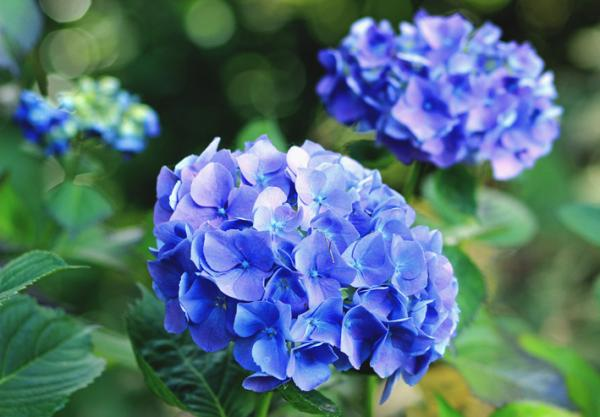 Blue hydrangeas: care and how to grow them - Meaning of blue hydrangeas