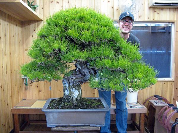 19 types of bonsai - Hachi-Uye bonsai, the largest