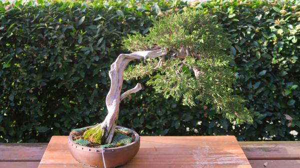 19 types of bonsai - Fukinagashi or windswept style