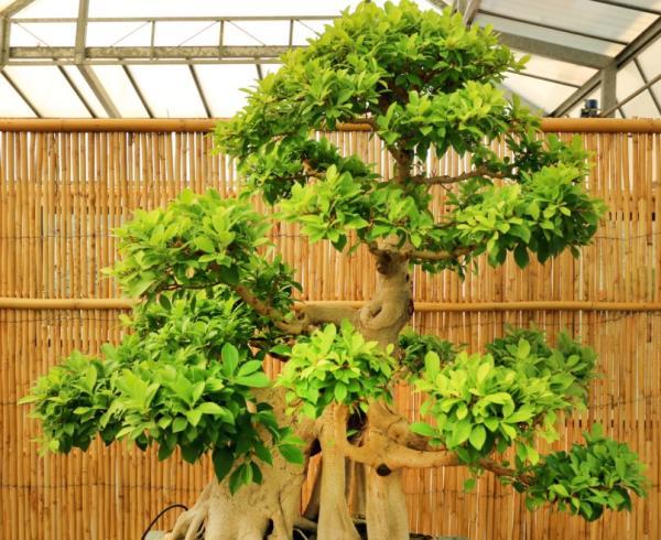 19 types of bonsai - Moyogui or Moyogi