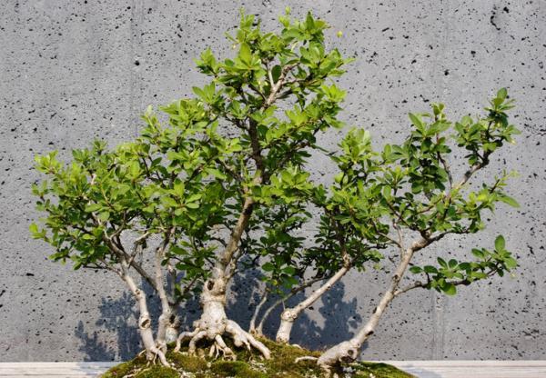 19 types of bonsai - Sokan or sankan