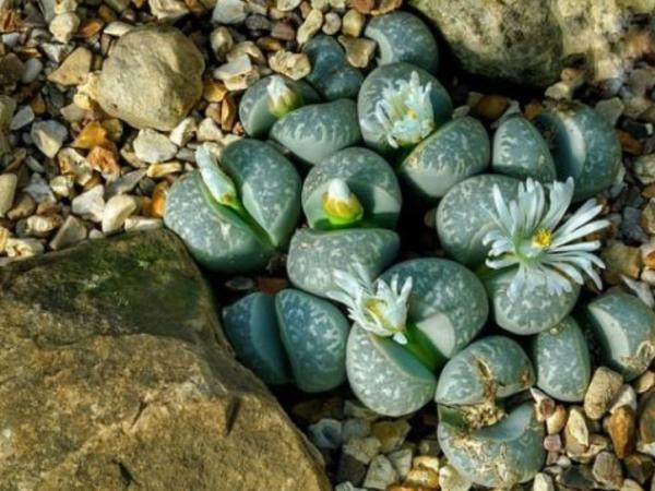 Succulent plant types - Lithops or stone cactus