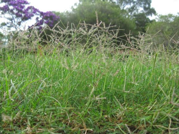 8 types of grass - Cynodon dactylon