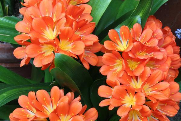 9 orange flowers - Orange Clivias